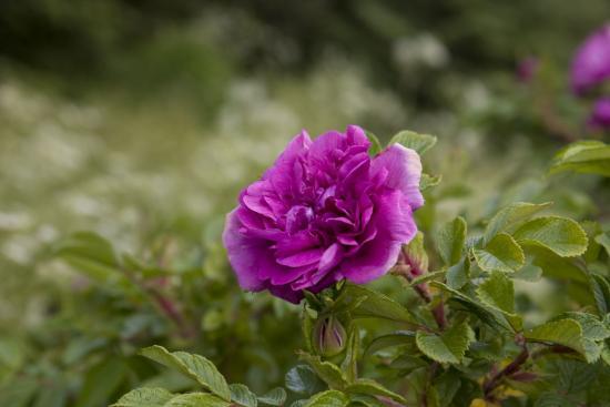 бывают ли фиолетовые розы