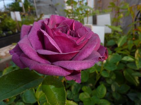 фиолетовые розы на фото