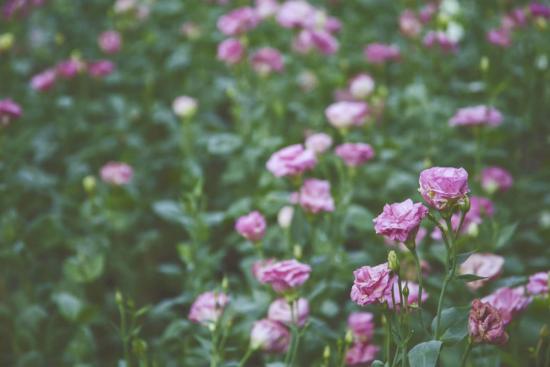 фиолетовые розы на картинке