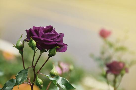 фиолетовая роза в саду