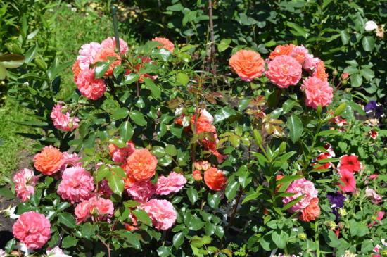 лучшие сорта садовых роз