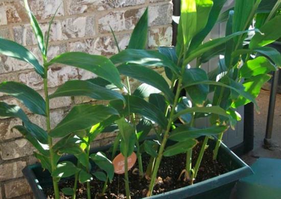 выращивание имбиря