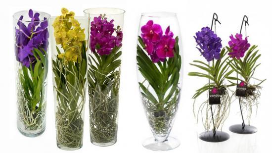 сорта орхидеи ванда