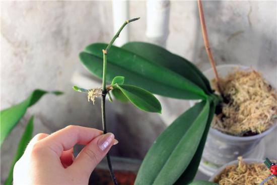 пересадка и размножение орхидеи