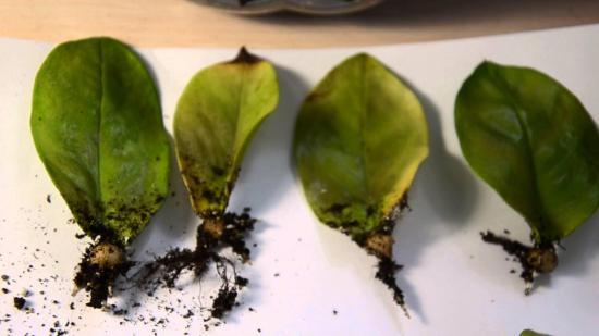разножение долларового дерева листками