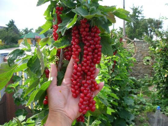 крупные ягоды красной смородины