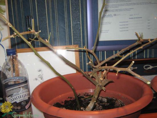 опали листья у лимонного деревца