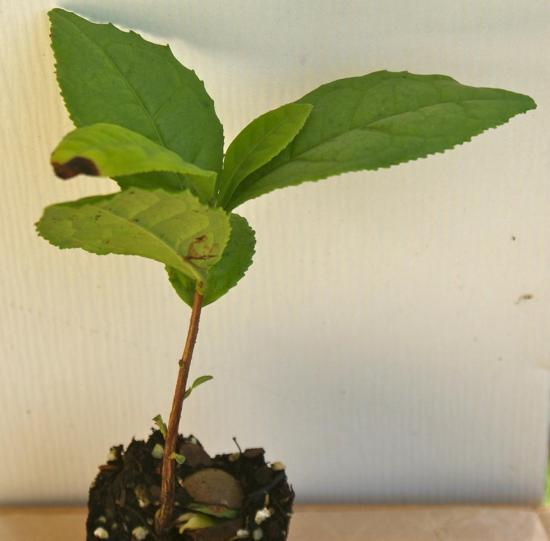 выращивание чая в домашних условиях