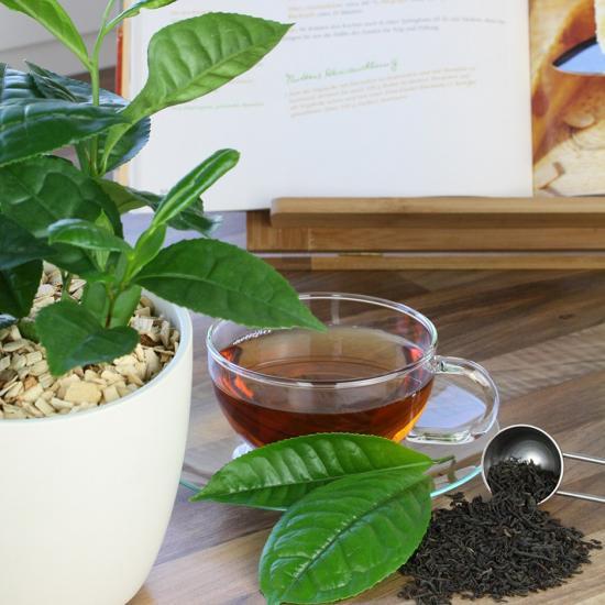 возможно ли выращивание чая в домашних условиях