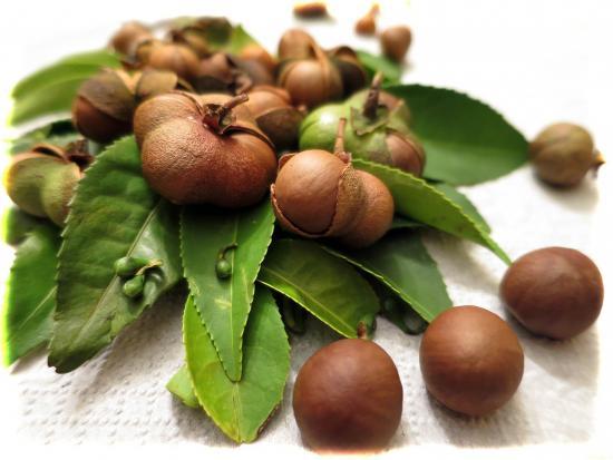 семена чая, выращивание сая из семян
