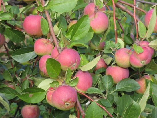 яблоня вэм розовый описание