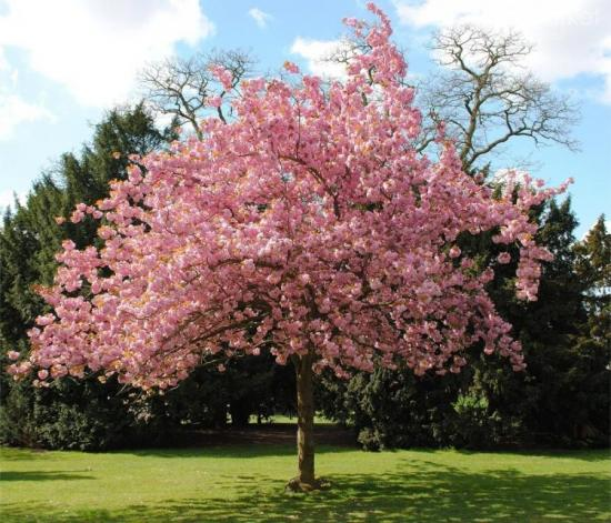 дерево черемуха