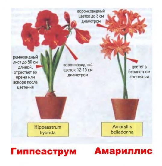 как различить амариллис и гиппеаструм