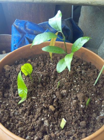как вырастить манго с косточки