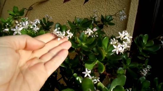 цветет денежное дерево