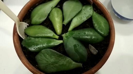 как вырастить денежное дерево из листа