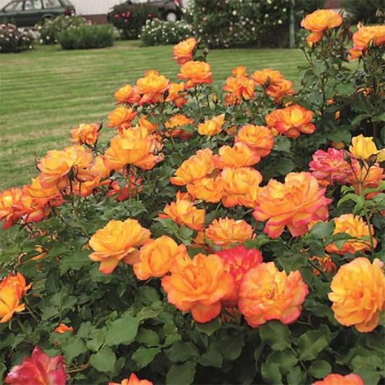 Парковые розы что это такое, чем отличаются от кустовых, посадка и уход