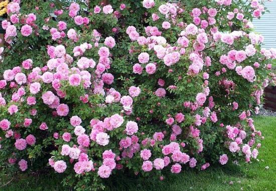 в чем преимущества парковых роз