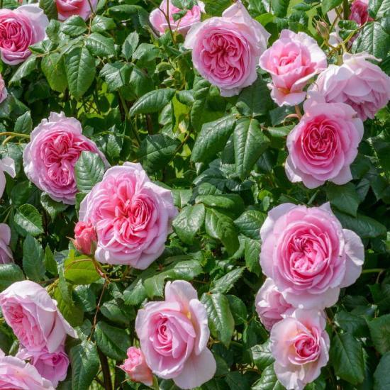 розы для сада