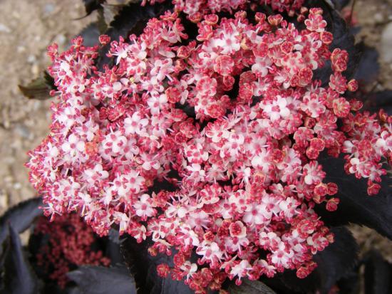 цветение бузины черной