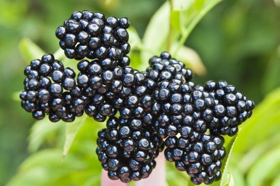 ягоды бузины черной
