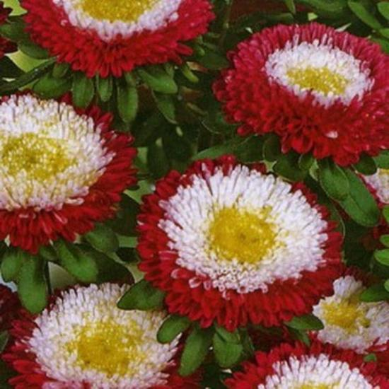 красивые цветы астры