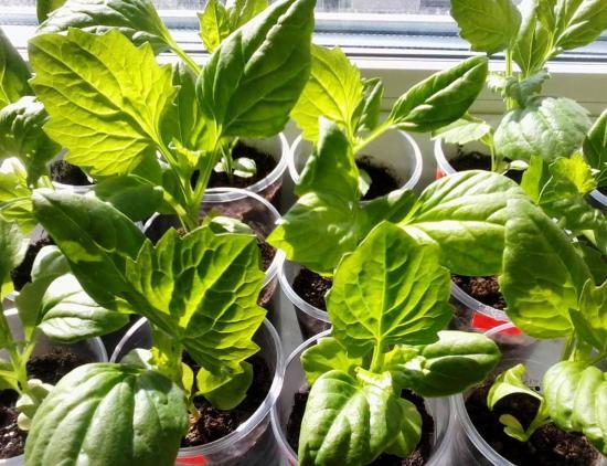 размножение астр рассадой из семян