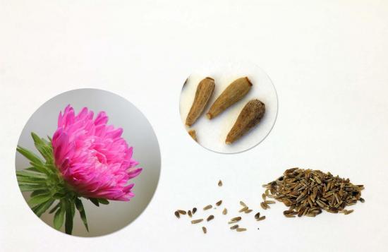 семена астр