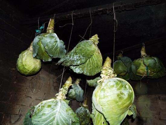 хранение капусты подвешенной