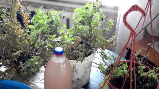 Хранение петунии маточным кустом