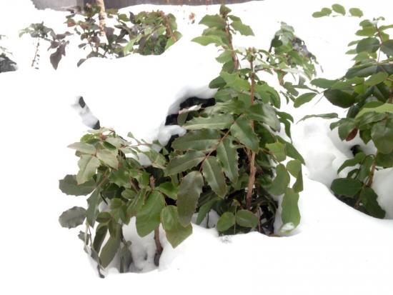 магония - вечнозеленое растения, морозов не боится