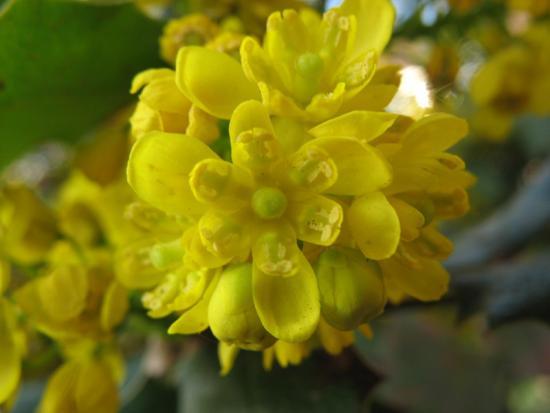 цветение магонии