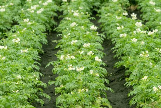 мокрица на картофельном поле