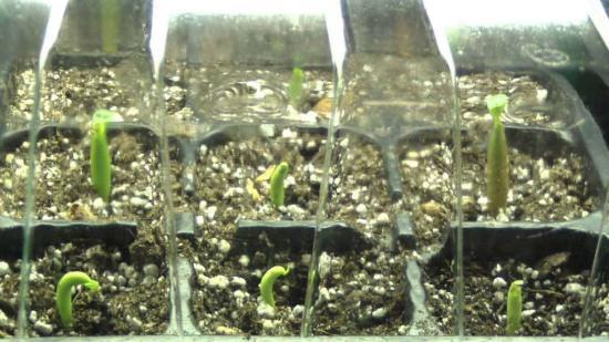 выращивание гибискуса из семян