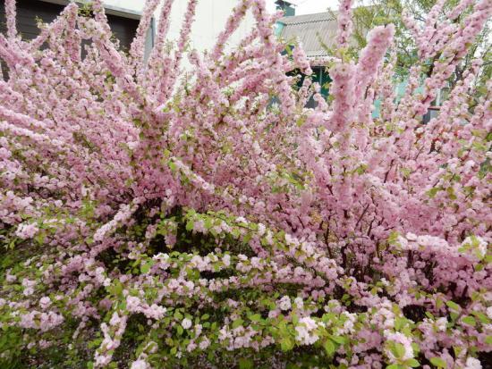 Миндаль розовая пена, посадка и уход