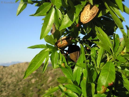 плоды миндаля