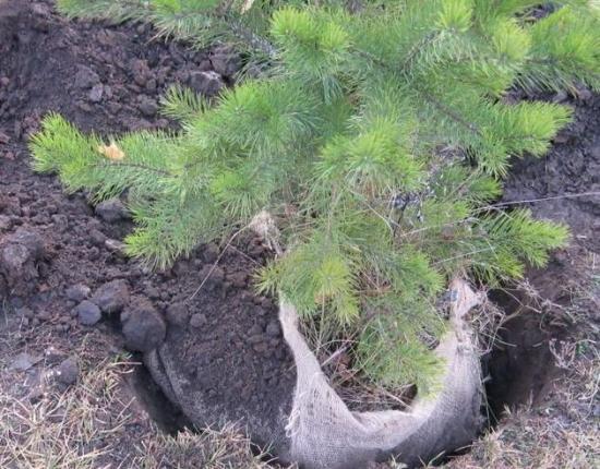 выкопать деревце для пересадки