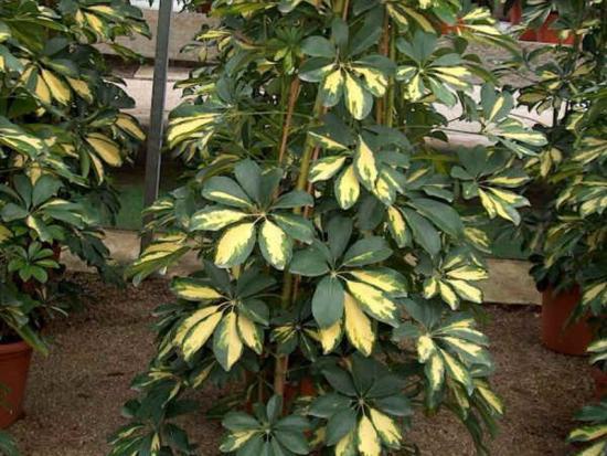 шефлера описание растения