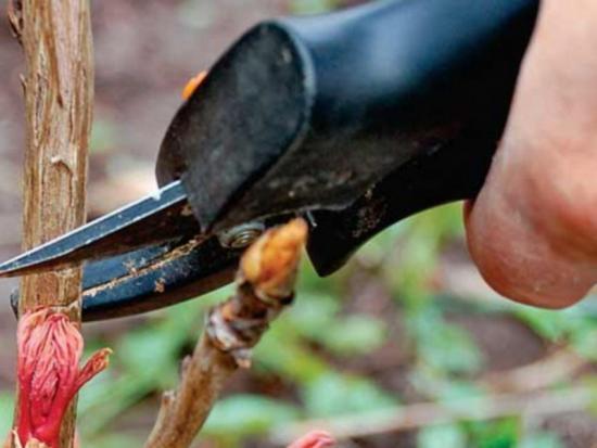 обрезка, омоложение древовидного пиона