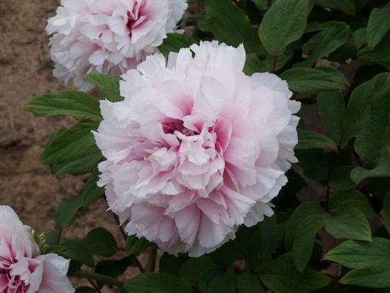 цветение дреоввидного пиона