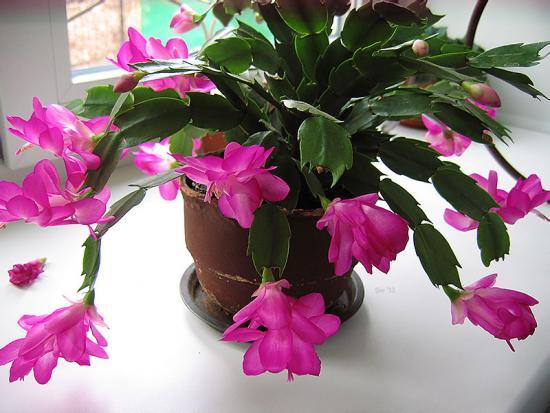 пересадка зигокактуса во время цветения