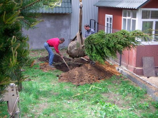 посадка елки из леса