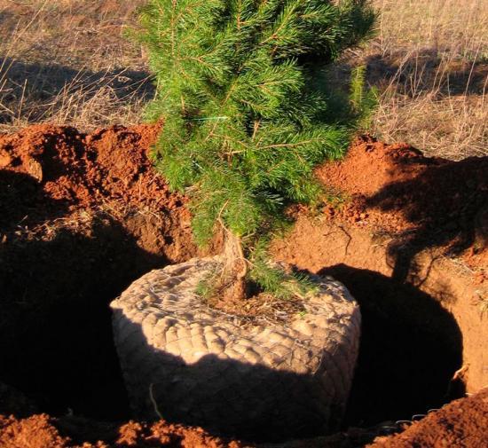 посадка елки зимой