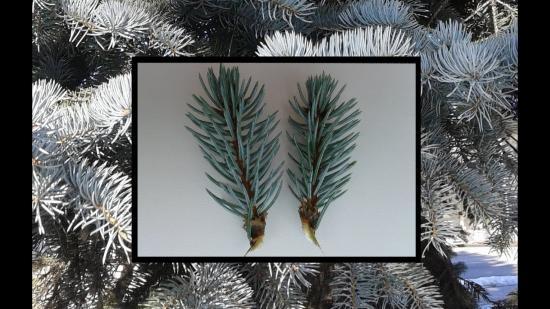вырастить елку из ветки