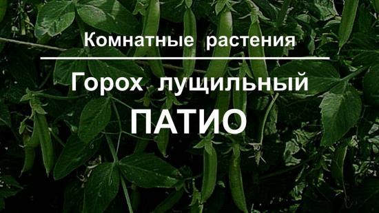 выращивание гороха патио как комнатного гастения