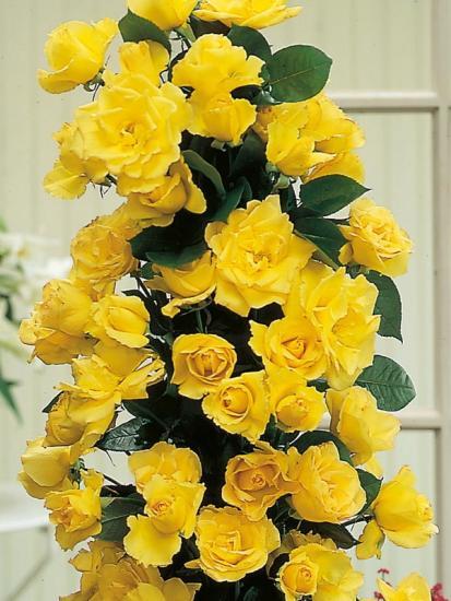 сорта вьющихся роз