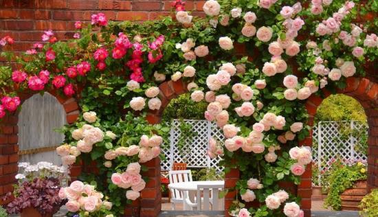вьющиеся или плетистые розы
