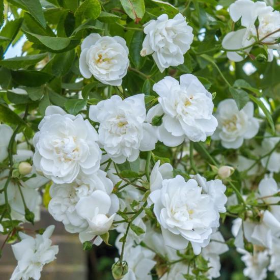Вьющиеся розы рамблер