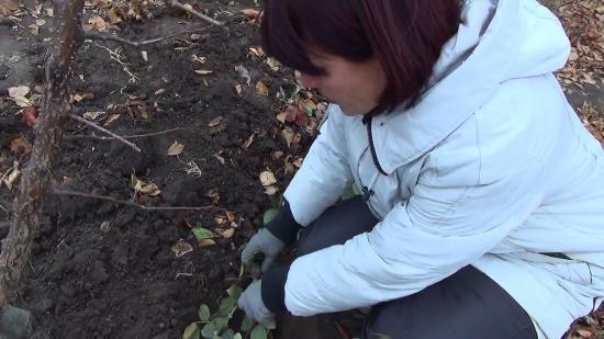 подготовка розы к зимовке