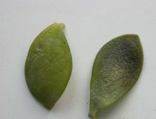 почему опадают листья с денежного дерева